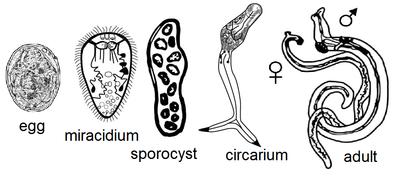 trematode és féregfejlődési ciklus