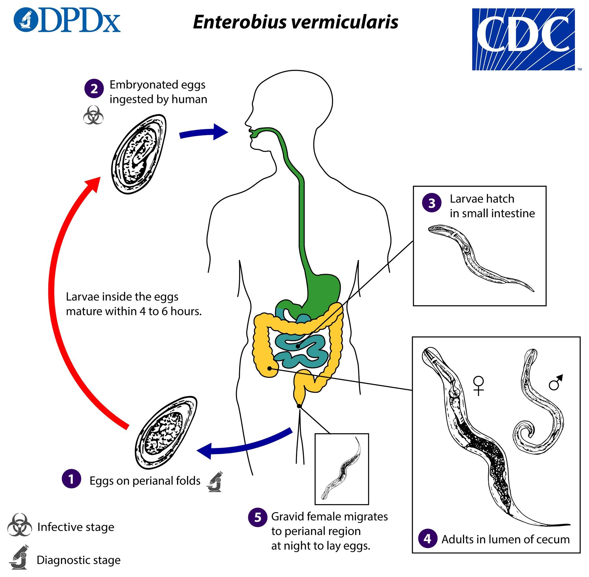 enterobius vermicularis fázisok)