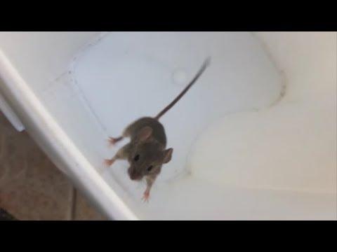 laboratóriumi egerek helmintái)
