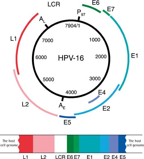 hpv 16 papillomavírus