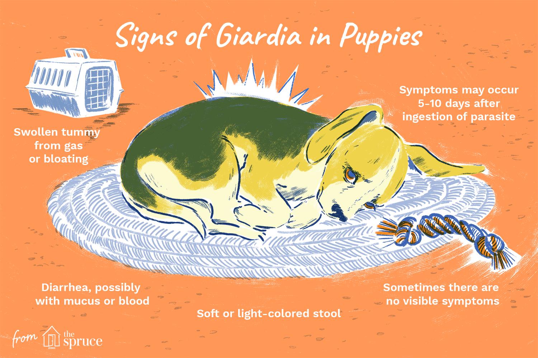 Giardia vagy helmint kezelése. 7 módja a Giardia és a férgek felismerésére a Gallban
