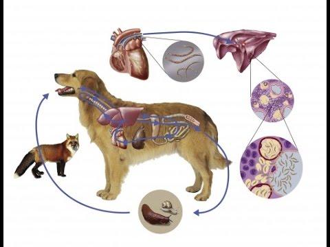 Pinworm fertőzés gyógyítása Az E. Coli Fertőzés Tünetei És Kialakulásának Megakadályozása