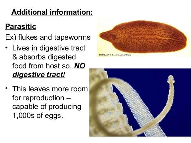 a phylum platyhelminthes definíciója)
