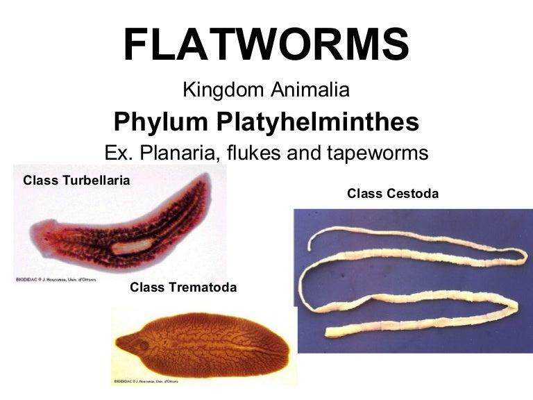 Planaria phylum platyhelminthes, A Metazoa filogénia feltételezett útvonalai