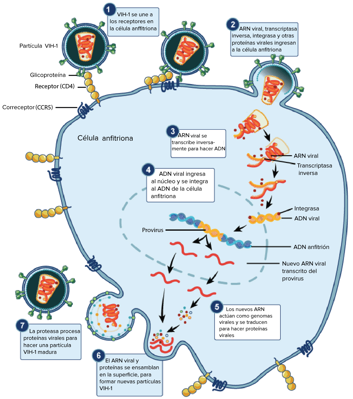 humán papillomavírus retrovírus