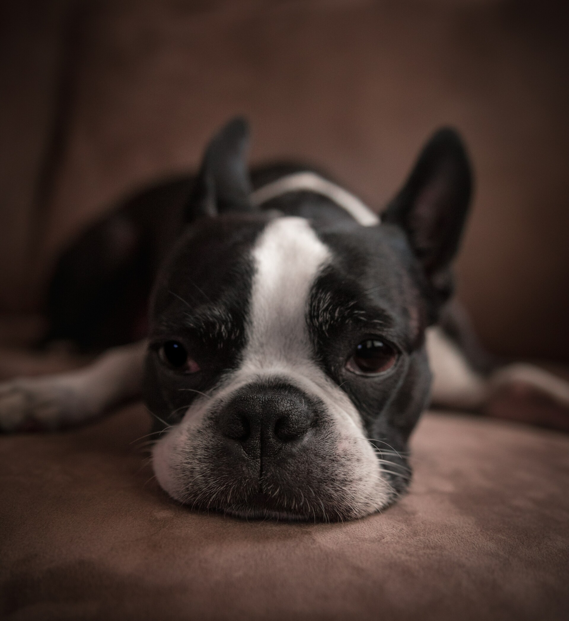 Chronische giardia bij honden