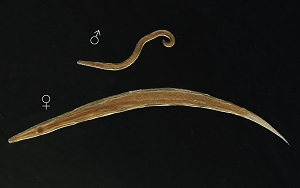 enterobius vermicularis képződik