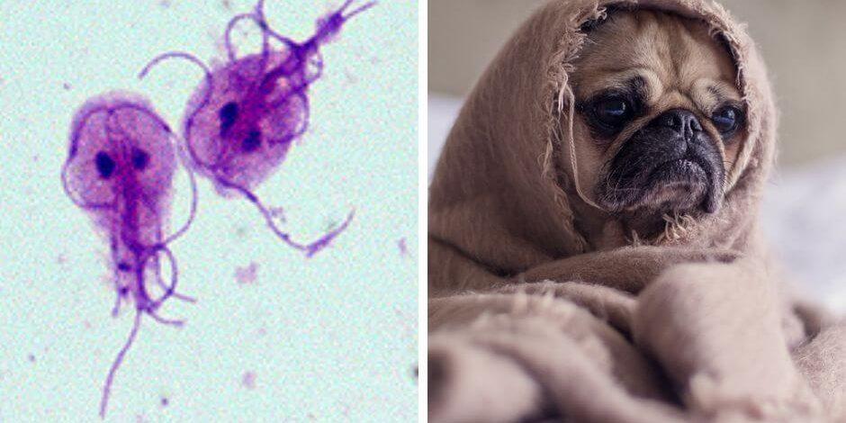 ködös giardia és psa leczenie