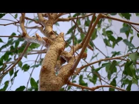 parazita ficus kezelése