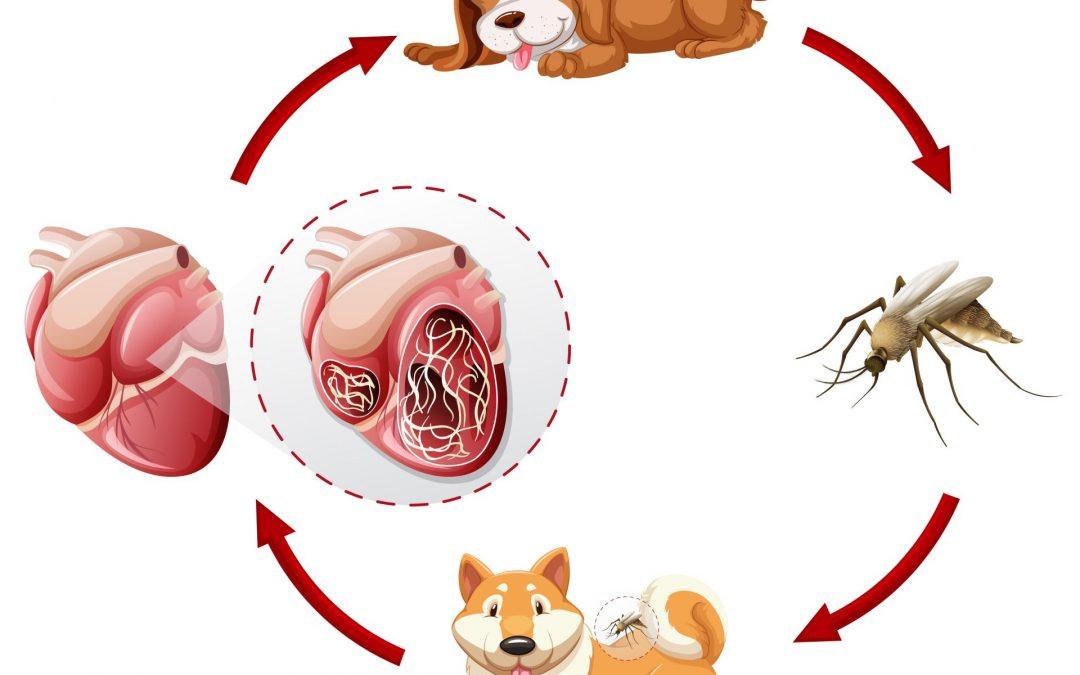 a szívféreg fertőző