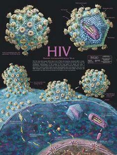 emberi papillomavírus diamegosztása)