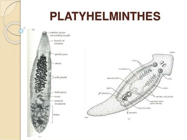 schema filum platyhelminthes