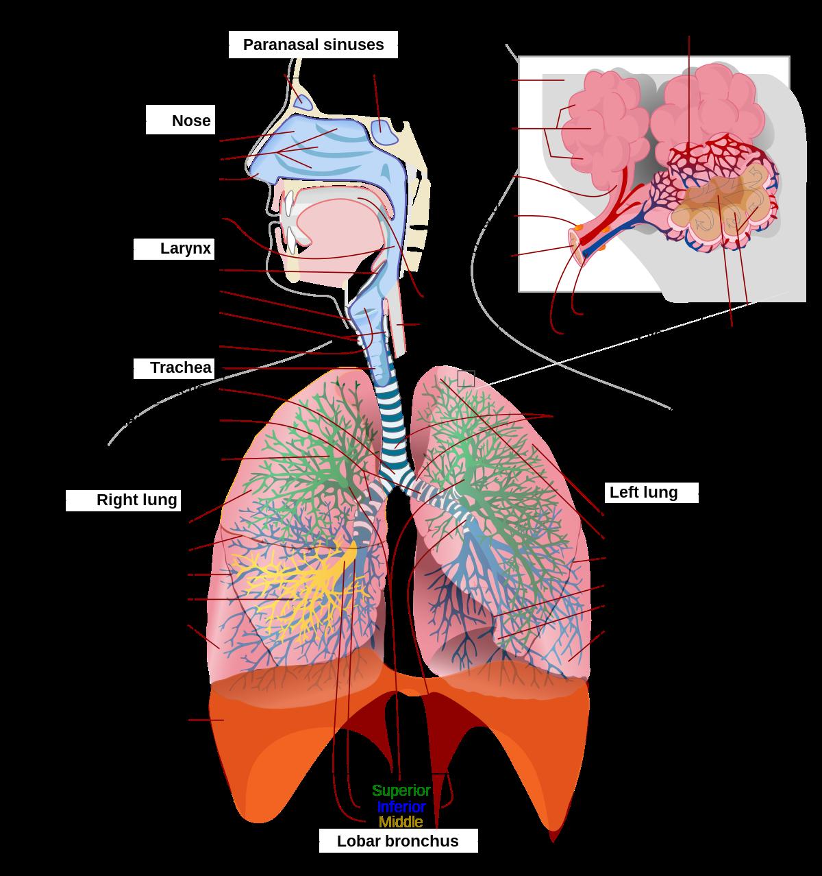 A tüdőrák típusai   tancsicsmuvelodesihaz.hu