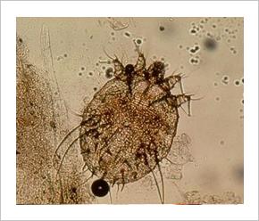 crevni paraziták kod odraslih tünetei