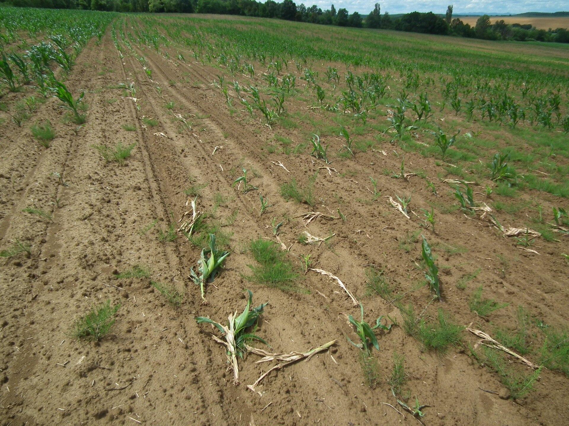Takarónövények használata fonálférgek és drótférgek ellen | Talajreform