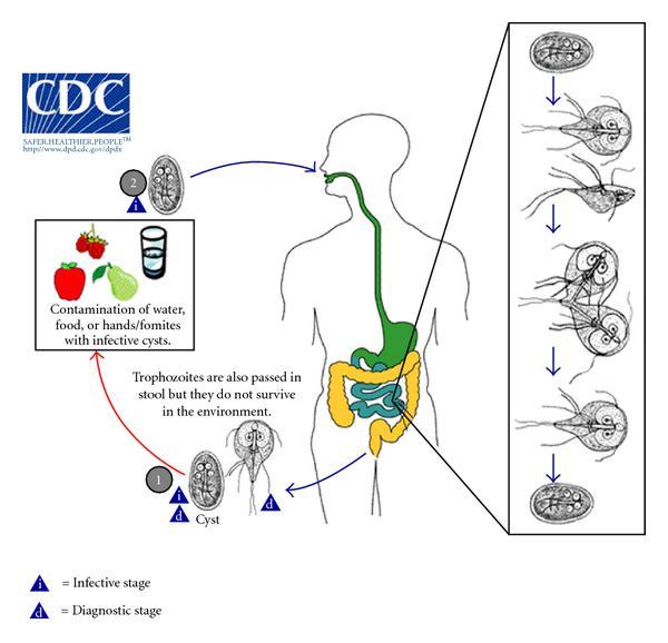 Giardia spp fertozes Giardiosis - EgészségKalauz