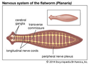 schema filum platyhelminthes