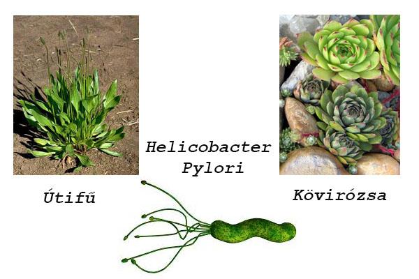 Oregánó-levelek | Herbs, Oregano tea benefits, Growing herbs
