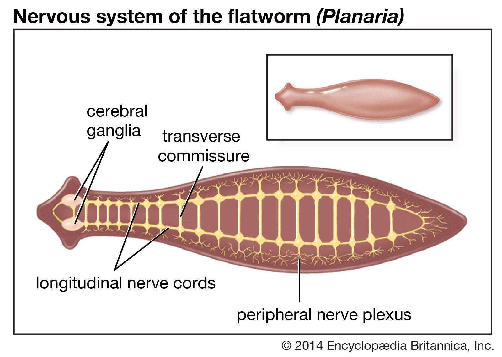 planaria phylum platyhelminthes)