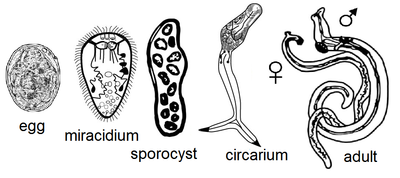 trematode és féregfejlődési ciklus papilloma a férfiak kezelésében