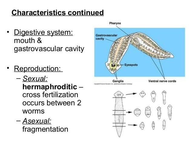 schema filum platyhelminthes)