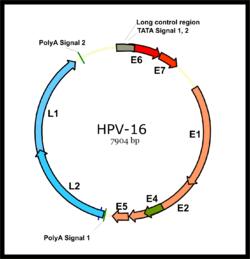 genetikai papillomavírus