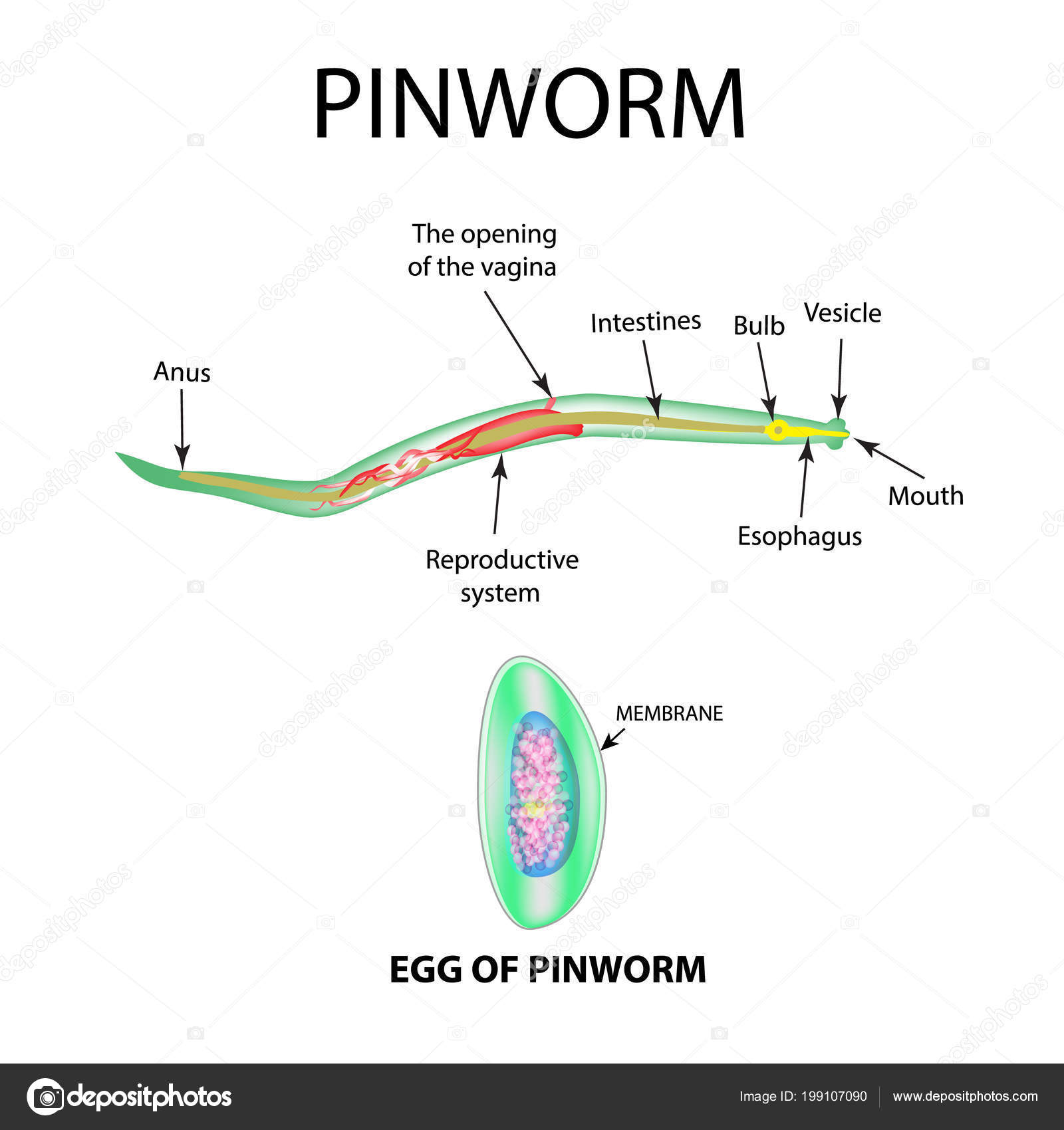 pinworm tojásai