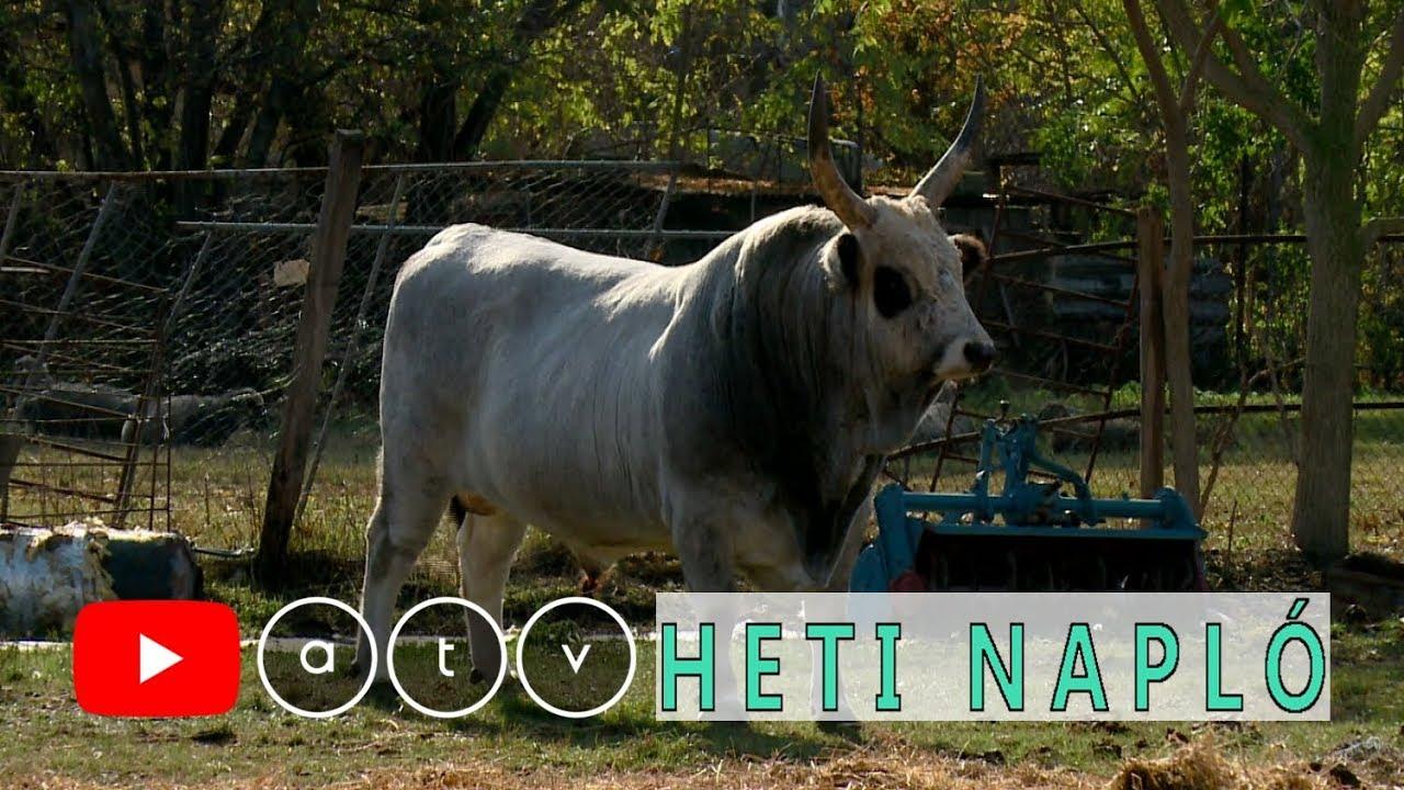 bika köztes bika és végső tulajdonos