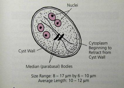 antigén giardia synévo