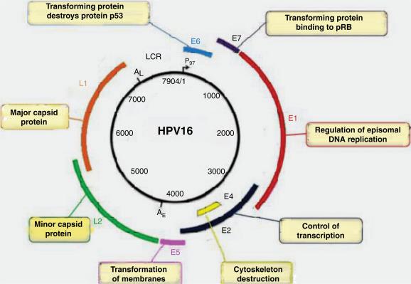 papillomavírus hpv 16 18)