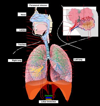 A felnőtt keresztfű az emberi tüdőben él)