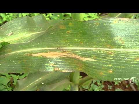 Az árpatermesztés kórtani hátteréről - Helminthosporium sativum