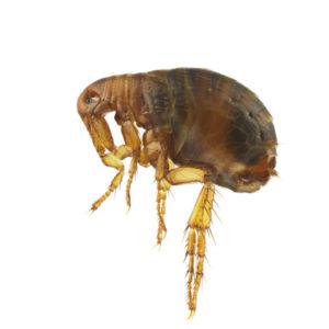 a kártevők felszámolásának áttekintése parazita riba