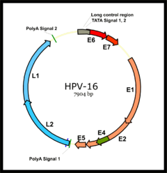 a papillomavírus)