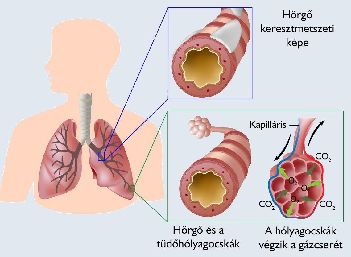 a tüdők típusai a tüdőben)