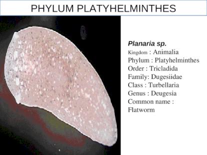 taxonómia phylum platyhelminthes)