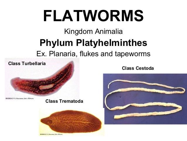 phylum platyhelminthes taenia