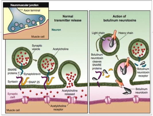 az enterobius vermicularis életciklusa diagrammal bélparazita tabletta