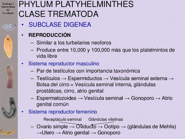 Phylum platyhelminthes taxonómia.