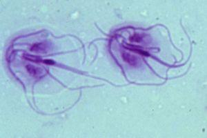 Giardia kat zwanger Szintetikus parazitakészítmények