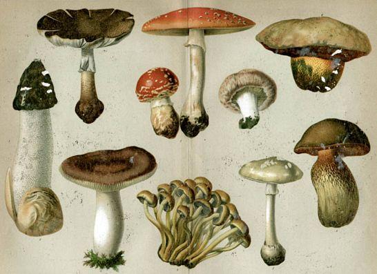 mérgező gombák