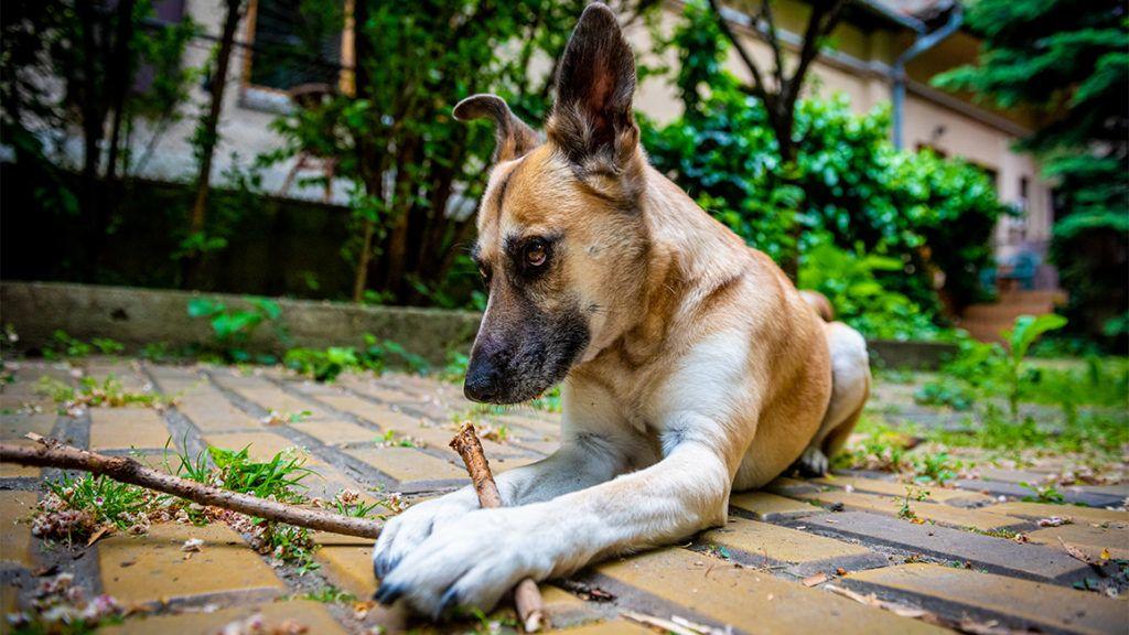 Papilloma vírus kutyák támadják meg az embert