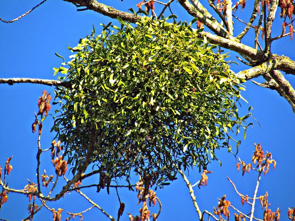 Parazita növény