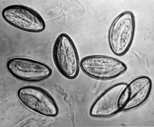 pinworm kezelés tünetei