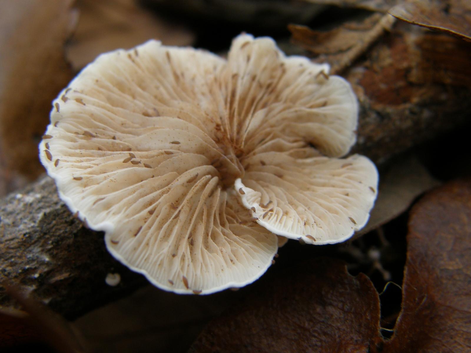 szaprofita gombák)