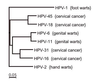 jóindulatú papillomavírus