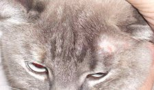 macskakert betegség