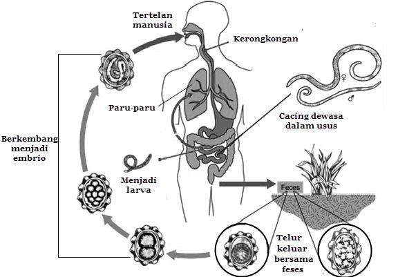 Enterobiasis és pinwormák kezelése
