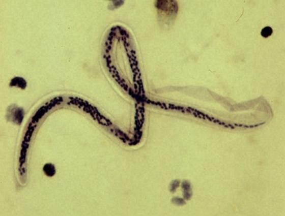 parazita sejtek