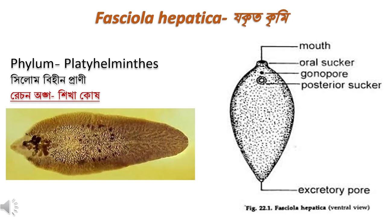phylum platyhelminthes fasciola)